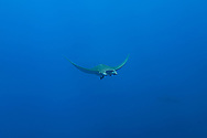 Ray Mobula-Raie Mobula (Mobula mobular), Pico Island, Azores Archipelago.