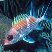 Squirrelfish primairly inhabit shallow patch reef and other shallow reef and wall tops in Tropical West Atlantic; picture taken Grand Cayman.