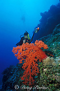 Mike Ball photographs soft coral,<br /> Dendronephthya sp.,  MR 207<br /> Flinders Reef, Coral sea, <br /> Australia