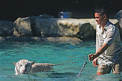 Bengal Tiger With Trainer