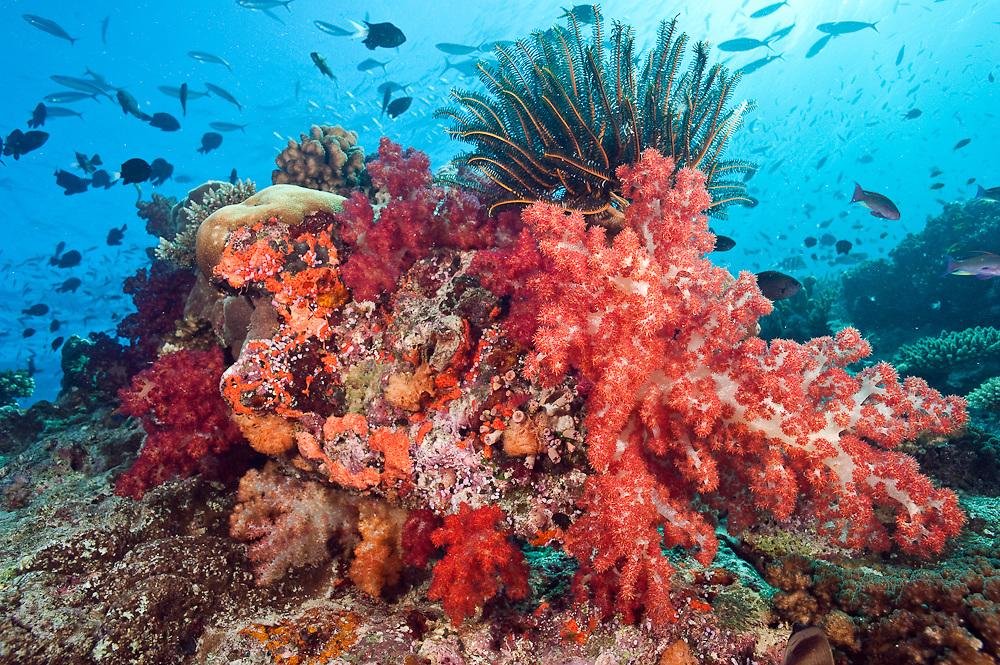 Coral reef in Beqa Lagoon, Pacific Harbor, Viti Levu, Fiji adorned with soft corals from the Dendronephthya family. Image available as a premium quality aluminum print ready to hang.