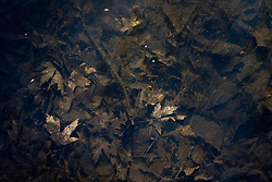 A thin sheet of ice formed over leaves that had fallen the previous autumn and fallen into a feeder creek near Lake Nokomis