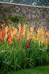 The gladiolus trial at Parham House. Includes Gladiolus 'Espresso', 'Peach Melba', 'Live Oak' and 'Carthago'.