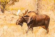 Bull Moose Entering a Meadow amid Fall Color