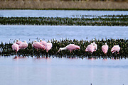 A flock of Roseate Spoonbills forage in a coastal marsh at the Bear Island Wildlife Management Area in Green Pond, South Carolina.