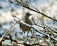 Gray Catbird. Image taken with a Nikon D3s camera and 500 mm f/4 VR lens.