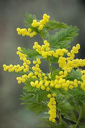 Acacia dealbata 'Gaulois Astier'. Blue wattle, Mimosa