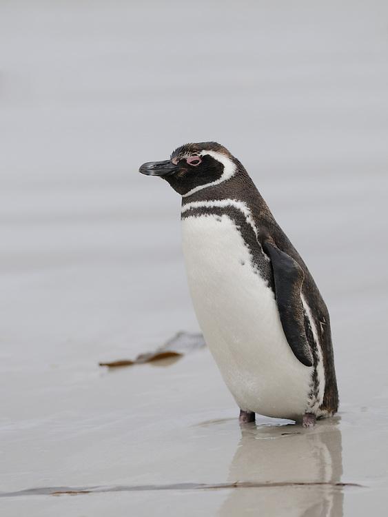 An adult  Megellanic Penguin (Spheniscus magellanicus) on the sandy beach near their nesting colony on Carcass Island. Carcass Island, Falkland Islands. 15Feb16