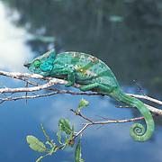 Parson's Chameleon, (Chamaeleo parsonii)  Madagascar.