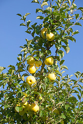 Malus domestica. Yellow apples against a blue sky