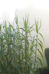 Arundo donax on a foggy morning at Great Dixter. Giant Reed, Giant Cane