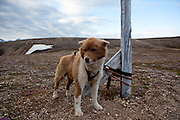Husky, or sled dog, near the scientific research base of Ny Alesund, Svalbard