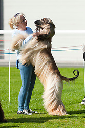 © Licensed to London News Pictures. 18/08/2017. Llanelwedd, Powys, UK. An exhibitor with her Afghan Hound are seen in the judging ring on the first day of The Welsh Kennel Club Dog Show, held at the Royal Welsh Showground, Llanelwedd in Powys, Wales, UK. Photo credit: Graham M. Lawrence/LNP