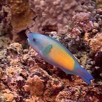 Bullethead Parrotfish, Chlorurus spilurus, (Valenciennes, 1840), Maui Hawaii