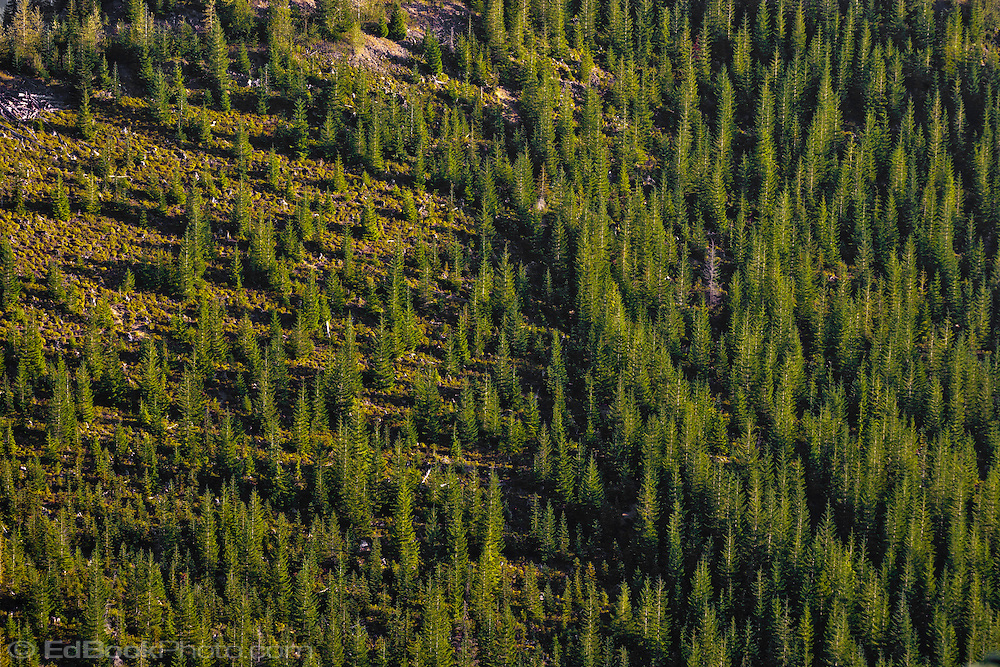 Noble Fir (Abies procera) and Pacific Silver Fir (Abies amabilis) in early morning warm alpenglow light grow in a new forest after clearcutting on a mountainside in the Tahom State Forest, Cascade Mountain Range in Washington State, USA