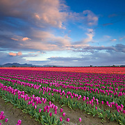 The tulips of the Skagit Valley are in full bloom during an amazing spring sunset.