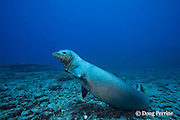 Hawaiian monk seal, Monachus schauinslandi, male ( critically endangered species ) seems to wave goodbye, Lehua Rock, near Niihau, off Kauai, Hawaiian Islands, USA ( Central Pacific Ocean )