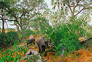 Mother elephant and calf feed in woodland in  Moremi National Park, Botswana