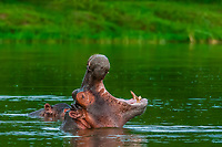 Hippos, Kazinga Channel, Queen Elizabeth National Park, Uganda. <br /> <br /> The Kazinga Channel in Uganda is a wide, 32-kilometre (20 mi) long natural channel that links Lake Edward and Lake George, and a dominant feature of Queen Elizabeth National Park. The channel attracts a varied range of animals and birds, with one of the world's largest concentration of hippos and numerous Nile crocodiles.