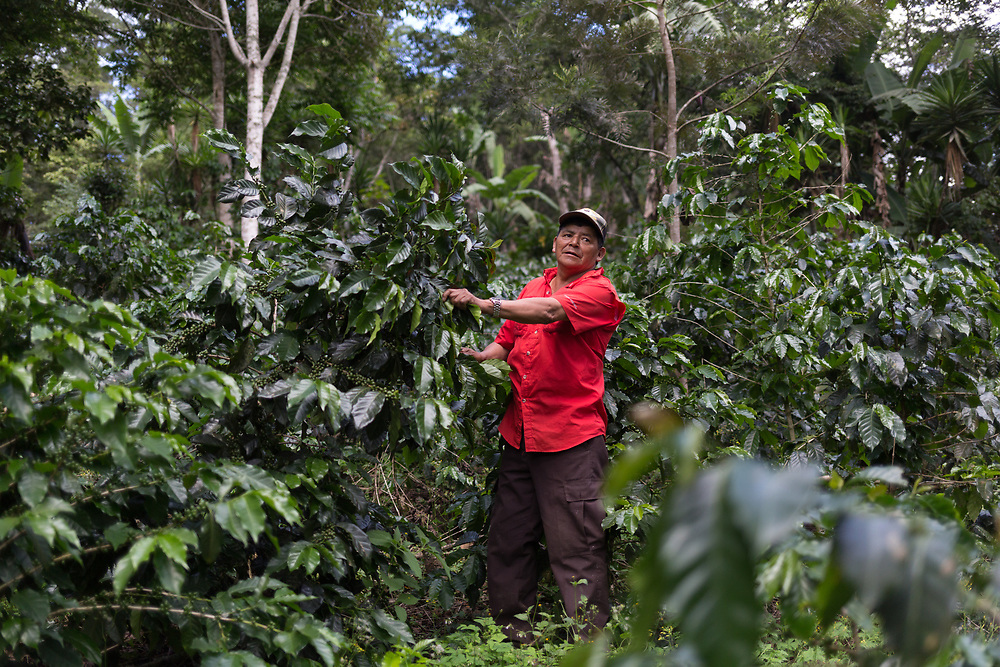 """Rufino Dominguez, producer and president of RAOS, is from Florido, Marcala, La Paz, Honduras. """"I'm 65 years old, and the experience I have with coffee is broad, sometimes the prices are very low, like now, it's a killer, but we get on. I don't have much leaf rust, just a few spots, I have it under control here. When you find it and you don't treat it, it strips the whole farm of the leaves, it kills it. Farms that get out of control are lost, they'll never produce. It just takes a few days to spread. For shade I have pepeto, aguacate, guachipilín, cedar, orange, cashewand and jocote""""."""