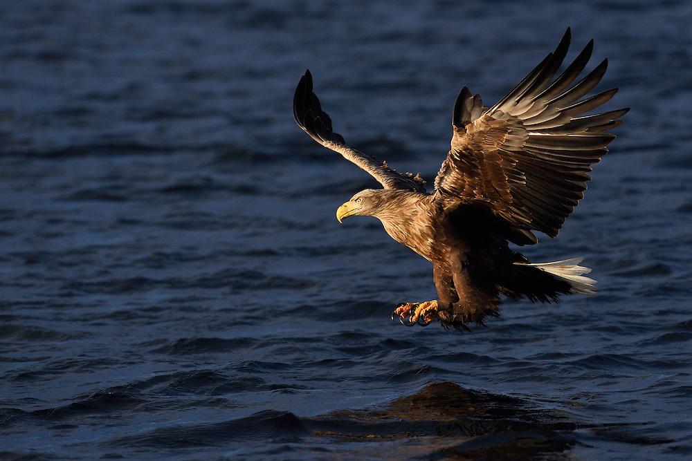 White-tailed eagle or Sea eagle or Erne, Haliaeetus albicilla, eating herring, Clupea harengus,  Flatanger, Nord-Tröndelag, Norway