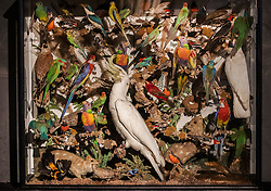 © Licensed to London News Pictures. 17/11/2016. Billingshurst, UK. A large case of Australian tropical birds, mammals and reptiles is shown Summers Place Auctions ahead of their sale in their 'Evolution' Auction taking place on November 22, 2016 - which will also see a rare dodo skeleton up for sale.   Photo credit: Peter Macdiarmid/LNP