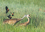 TO NEIGHBORS FOR DINNER | A family of Sandhill Cranes (Grus canadensis) raids a neighboring red-wind blackbird (Agelaius phoeniceus) colony in a secluded forest marsh high in the Swan Range, Montana. Female crane shakes incubating birds from their nests, while the male feeds eggs one by one to his chicks in the grass below. <br /> <br /> See Taste of Inheritance in PhotoStories.