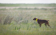 SHOT 5/9/20 8:56:40 AM - Various pointing breeds compete in the Vizsla Club of Colorado Licensed Hunt Test Premium at the Rocky Mountain Sporting Dog Club Grounds in Keenesburg, Co. (Photo by Marc Piscotty / © 2020)