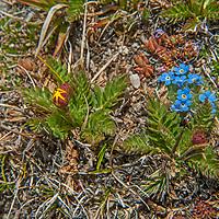 Mountain Forget-me-nots (Myosotis asiatica) bloom atop Beartooth Pass, Wyoming.