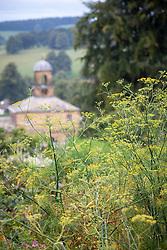 Foeniculum vulgare - Common fennel - at Chatsworth House