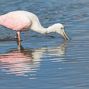 Young roseate spoonbill (Platalea ajaja) drags its bill through shallow water in search of fish at Merritt Island NWR on Florida's Atlantic coast.