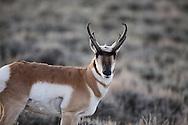 Pronghorn antelope buck, Yellowstone National Park
