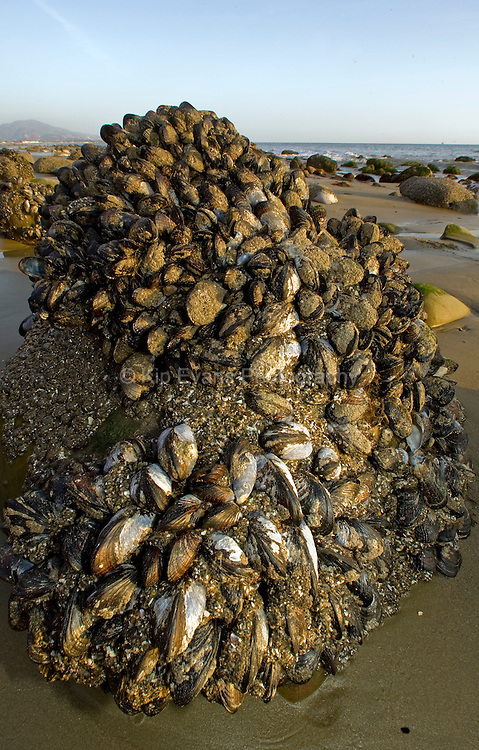 Tidepool Rock covered in California Mussels, Santa Barbara CA
