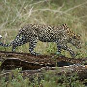 Leopard (Panthera pardus), Lake Nakuru National Park, Kenya, Africa