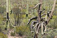 Saguaro cactus, Carnegiea gigantea, in Tucson Mountain Park, near Tucson, Arizona