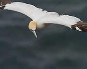 The Northern gannet (Morus bassanus) is a seabird and the largest member of the gannet family, Sulidae.