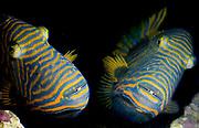 Orangestriped Triggerfish, Balistapus undulatus.