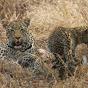 Leopard, young cub with it's mother in Timbavati Game Reserve, South Africa.