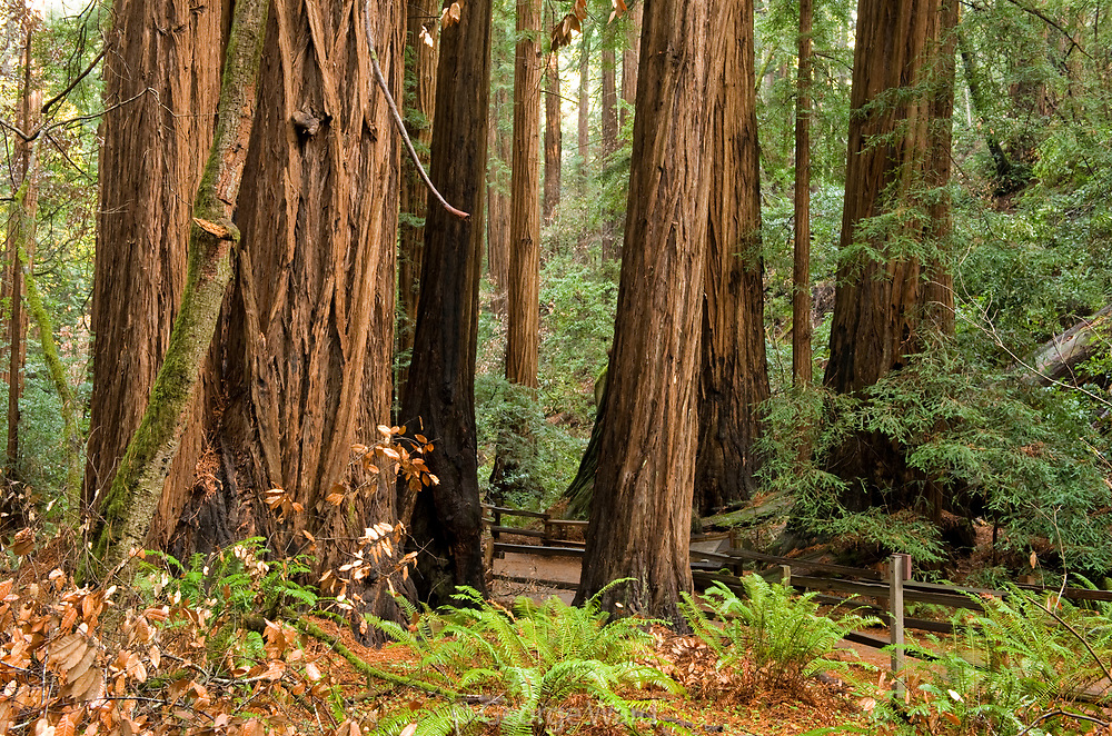 Old-growth Redwoods near the Cathedral Grove, Muir Woods National Monument, California