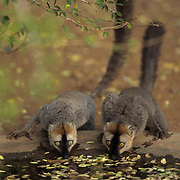 Red=fronted Lemurs (Fulxux rufus) in Madagascar.  Endangered Species.