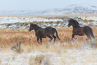 An early season snowstorm stranded me in the Bighorn Basin an extra day. I tried to make the most of it by visiting the mustangs west of Greybull. Last time I was here I saw the entire herd of nearly 100 wild horses. But this time, despite driving for miles and scanning with binoculars, these were the only 2 I could find. But they gave me plenty of photo opportunities as they galloped across the hills with snowflakes in the air. The McCullough Peaks mustangs are believed to be descendants of Buffalo Bill's horses from his Wild West Show. They are 1 of 2 herds of wild horses found on BLM land in northern Wyoming.