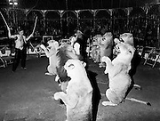 Richard Chipperfield thrills the audience with his lion act, in the ring at Chipperfields' Circus in Mullingar, County Westmeath.<br />