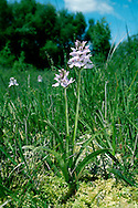 HEATH SPOTTED-ORCHID Dactylorhiza maculata (Orchidaceae) Height to 50cm. Superficially similar to Common Spotted-orchid but restricted to damp, mostly acid soils on heaths and moors. FLOWERS are usually very pale, sometimes almost white, but with darker streaks and spots; the lower lip is broad and 3-lobed but the central lobe is smaller than the outer 2. Flowers borne in open spikes (May-Aug). FRUITS are egg-shaped. LEAVES are lanceolate and dark-spotted, those at the base being largest and broadest, narrower leaves sheathing the stem. STATUS-Locally common throughout.