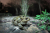 One Direction - Common Toads on the move in Bristol