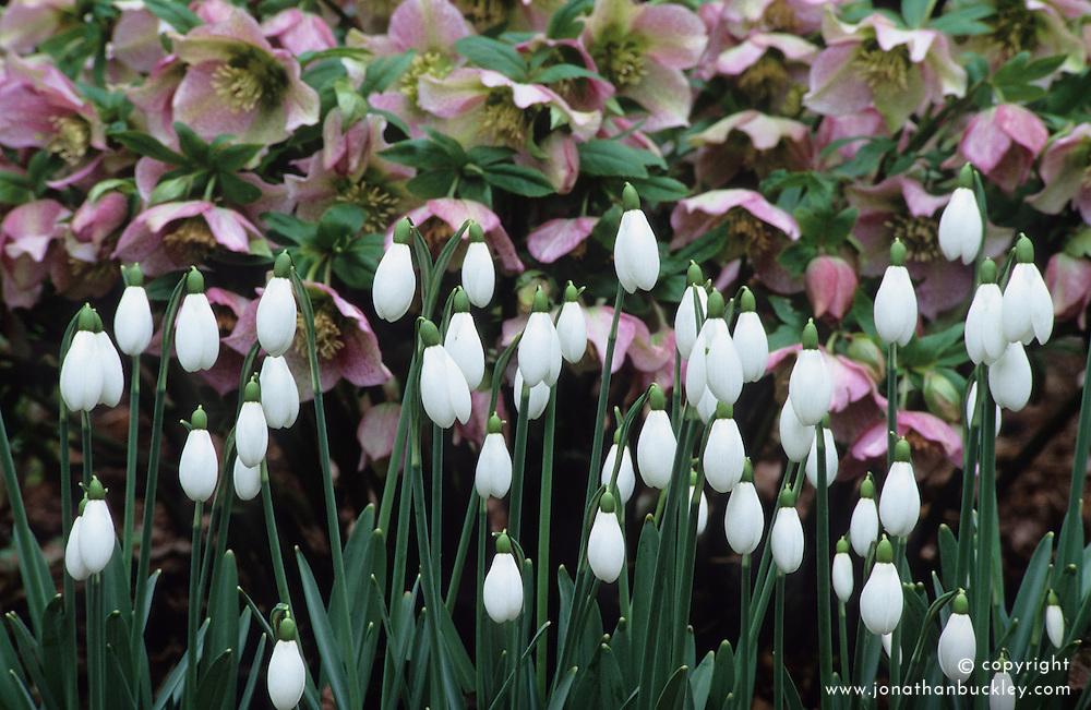 Galanthus 'Sam Arnott' syn. 'S. Arnott' with Helleborus orientalis. Snowdrops