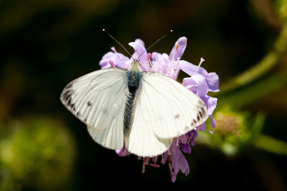 Small Cabbage White Butterfly, Pieris brassicae, gathering nectar from garden flower, UK