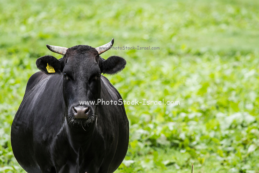 Black dairy cow Photographed in Giethoorn a town in the province of Overijssel, Netherlands It is located in the municipality of Steenwijkerland, about 5 km southwest of Steenwijk. As a popular Dutch tourist destination both within Netherlands and abroad,
