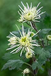 Chrysanthemum 'Spiro White'