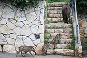 Wild boar sow and piglets roam the streets of Haifa, Israel, April 09, 2021. Several neighborhoods in the northern Israeli city are being visited by families of wild boars. Many of the animals felt safer to come out of the Carmel woods surrounding the city in search for food, as most people were confined to their homes due to covid-19 lockdowns. As Israel slowly returned to normal life, following a large scale vaccination operation, human and animal encounters became more and more common.