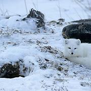 Arctic Fox (Alopex fulva) At den. Churchill, Manitoba. Canada.